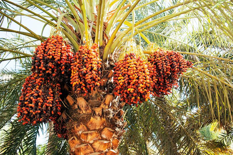 date palms Iran